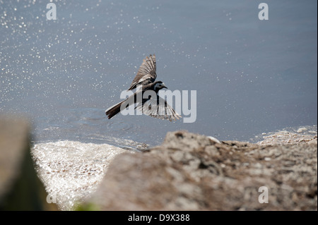 Pied Wagtail in flight, Motacilla alba yarrellii, Skomer, South Pembrokeshire, Wales, United Kingdom - Stock Photo