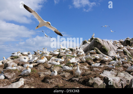 Breeding colony of Northern Gannets with birds flying above the gannetry - Stock Photo