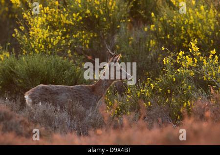 Male Roe Deer between the yellow flowers of Broom - Stock Photo