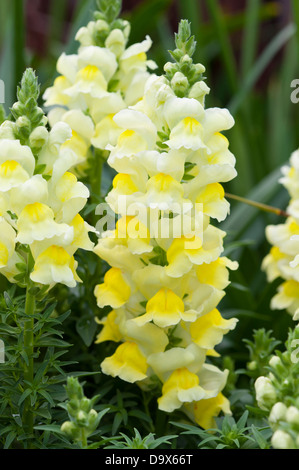 antirrhinum yellow snapdragon - Stock Photo