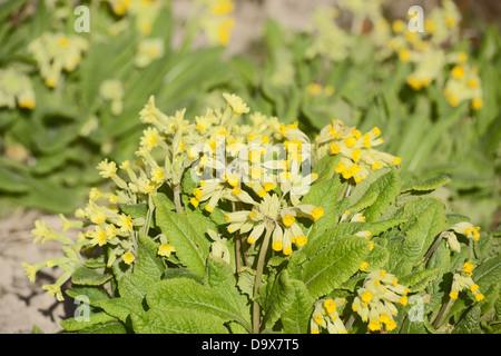 Primula veris, Cowslip flowers, Wales, UK. - Stock Photo