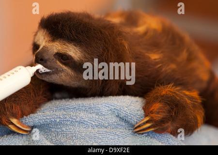 Baby orphaned Brown-throated Three-toed Sloth (Bradypus variegatus) drinking milk through a syringe in Sloth Sanctuary nursery