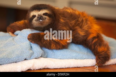 Baby Brown-throated Three-toed Sloth (Bradypus variegatus) with milk on face after being fed at the Sloth Sanctuary - Stock Photo