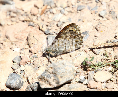 Wall Brown Butterfly ( Lasiommata megera) posing on the ground with wings closed - Stock Photo