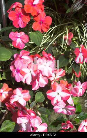 dh Pukekura Park NEW PLYMOUTH NEW ZEALAND Fernery and Display Houses Busy lizzy flowers Impatiens walleriana flower