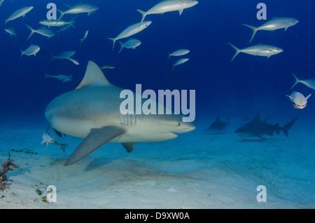 Mexico Yucatan Peninsula Quintana Roo Playa del Carmen Bull shark Carcharhinus leucas female in seasonal breeding - Stock Photo