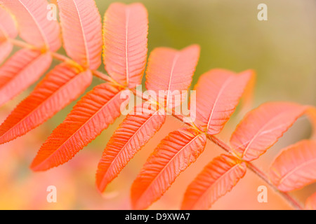 A close-up of the leaves of the stag's horn sumac. - Stock Photo
