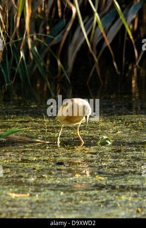 Bulgaria Vaya lake Burgas June 28 2013: Squacco Heron watches for prey from the reed beds along the edge of lake - Stock Photo