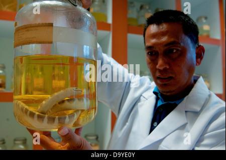 Scientist holding a jar containing Black-banded sea krait (Laticauda semifasciata) in a specimen room, Brunei - Stock Photo