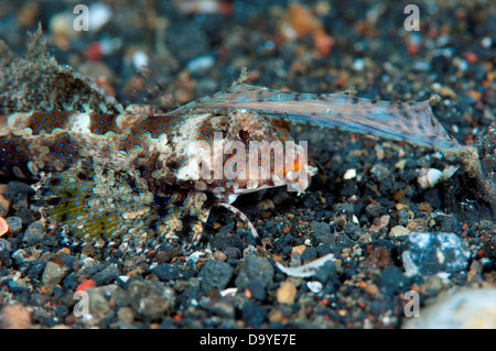 Fingered Dragonet (Dactylopus dactylopus) on black sand, Lembeh Strait, Sulawesi, Indonesia - Stock Photo