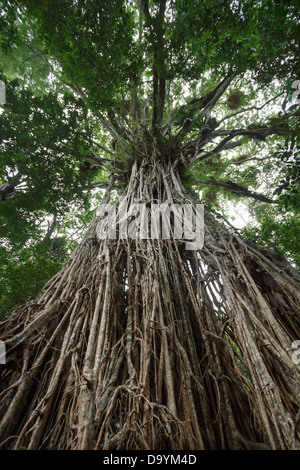 Looking up the giant Cathedral Fig Tree on the Atherton Tablelands, Queensland, Australia. - Stock Photo