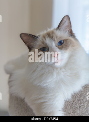 An adorable seal ragdoll kitten posing in soft natural light. - Stock Photo