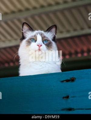 A fluffy seal bi-colour ragdoll cat with bright blue eyes looking over a blue fence - Stock Photo