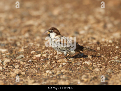 Spanish Sparrow Passer hispaniolensis male wet after having a bathe in a puddle during may in souther turkey - Stock Photo