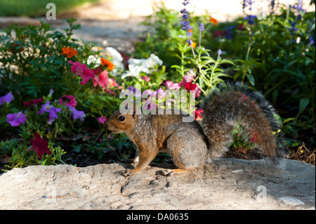 Squirrel, The Company's Garden, Cape Town, South Africa - Stock Photo