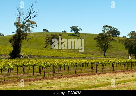 Vines in Clare Valley, South Australia, Australia - Stock Photo