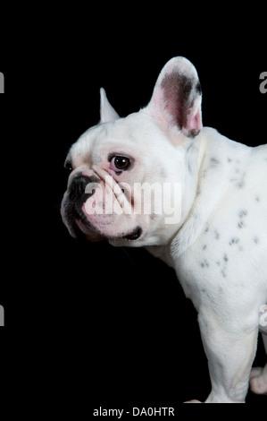 Sad french bulldog isolated on black background - Stock Photo