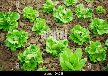 Vegetable garden. Rows of fresh lettuce plants. - Stock Photo
