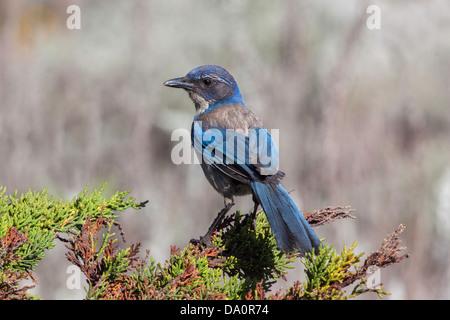 California Scrub-Jay Aphelocoma californica Pacific Grove, Monterey County, California, United States 20 June - Stock Photo