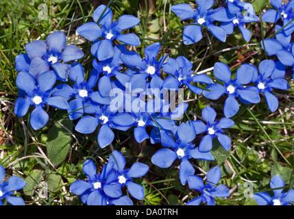 Spring Gentian (gentiana verna), Adamello National Park, Italy - Stock Photo