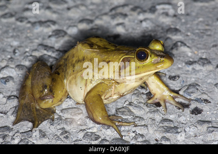 A large adult Pig Frog (Lithobates grylio) on the main park road in Everglades National Park, Miami-Dade County, - Stock Photo
