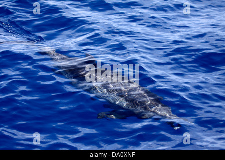 Atlantic spotted dolphin swimming near surface - Stock Photo