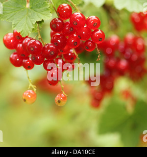 Red currants in the garden - Stock Photo