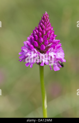 Pyramidal Orchid (Anacamptis pyramidalis) with fly - Stock Photo