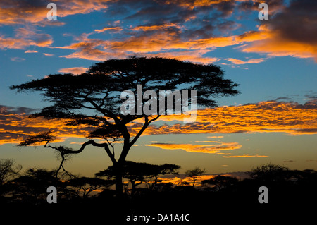African sunset with acacia trees, Serengeti national park.