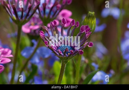 African Daisy Osteospermum Lavender Bliss Garden Flower   Stock Photo