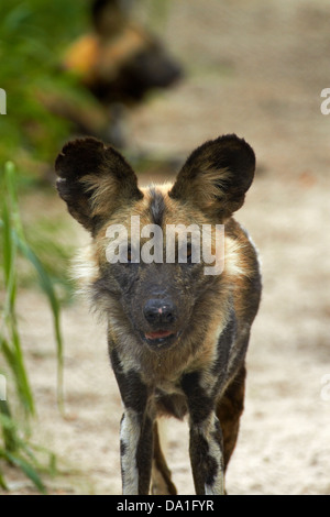 African Wild Dog or Painted Dog (Lycaon pictus), Painted Dog Conservation Project, near Hwange National Park, Zimbabwe, - Stock Photo