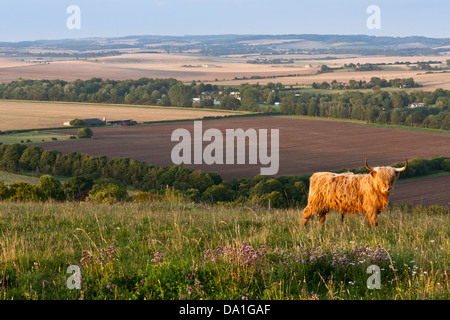 A Highland Cattle bull in a field on a Chiltern's hillside in Berkshire, southern England, GB, UK. - Stock Photo