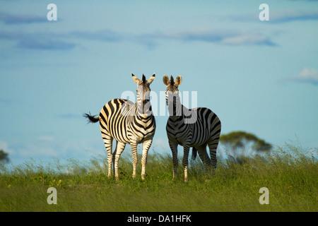 Chapman's zebra (Equus quagga chapmani), Hwange National Park, Zimbabwe, Southern Africa - Stock Photo