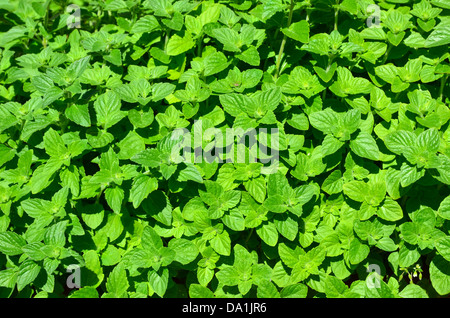 Background image of lemon balm herb - Stock Photo
