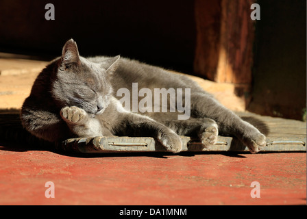 Grey cat taking a nap in the sun on the doormat.(felis catus) - Stock Photo