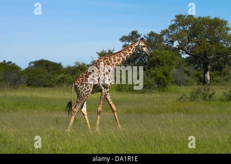 Giraffe (Giraffa camelopardalis), Hwange National Park, Zimbabwe, Southern Africa - Stock Photo