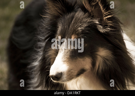 closeup of a two years male sheepdog looking at camera - Stock Photo