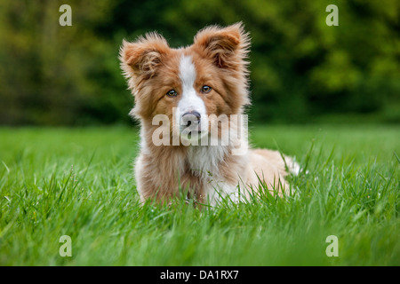 Border Collie (Canis lupus familiaris) pup lying in garden - Stock Photo
