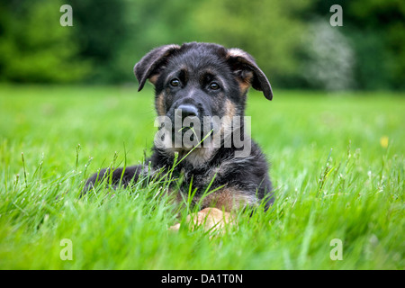 Alsatian / German shepherd dog (Canis lupus familiaris) puppy lying in garden - Stock Photo