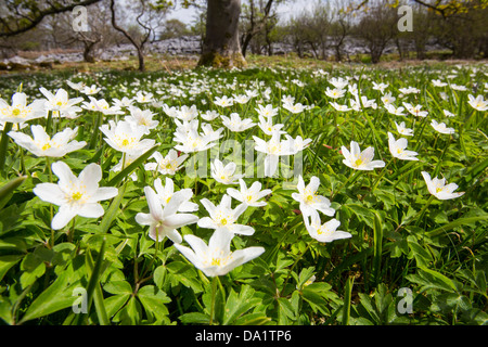 Wood Anemone (Anemone nemorosa) growing in Oxenber Woods above Austwick - Stock Photo