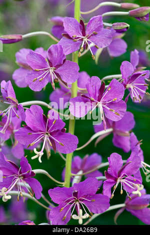 Fireweed (Epilobium angustifolium) flowers - Stock Photo