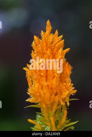 Celosia Plumosa,Cockscomb,Celosia argentea,plumed cockscomb - Stock Photo