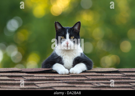 Male Tuxedo cat on top of roof staring intently - Stock Photo