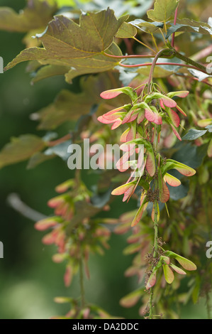 Sycamore acer tree seeds fruit developing in grape like clumps on branches ready for wind dispersal