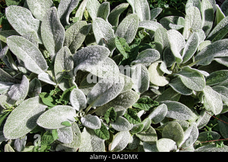 This is a close up shot of hairy leaves Stachys lanata like nice nature background. - Stock Photo
