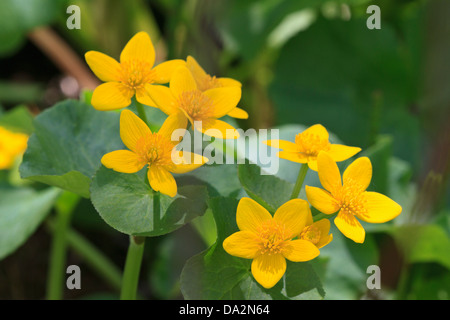 Marsh marigold (Caltha palustris), also known as kingcup. - Stock Photo