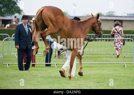 A horse in a parade ring kicking out as man tries to control the animal - Stock Photo