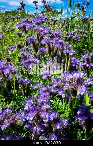 Blue-flowered crop of Scorpion weed Phacelia tanacetifolia green manure - Stock Photo