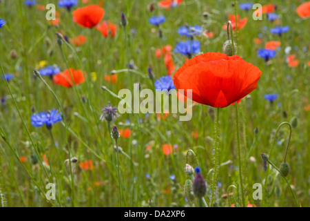 Wild Poppies and cornflowers on a meadow - Stock Photo