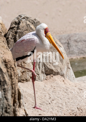 Yellow Billed Stork standing on one leg - Stock Photo